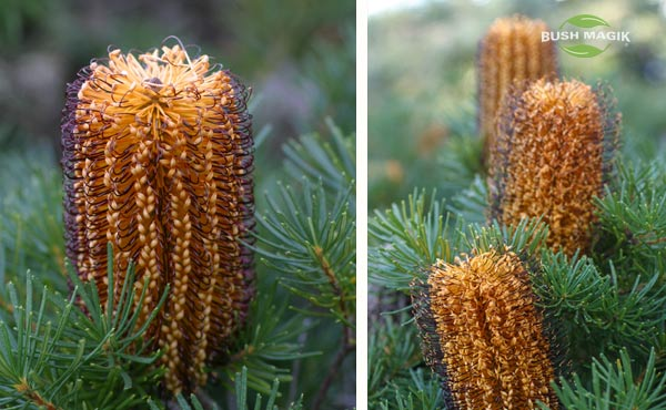 Banksia spinulosa Bush Candles